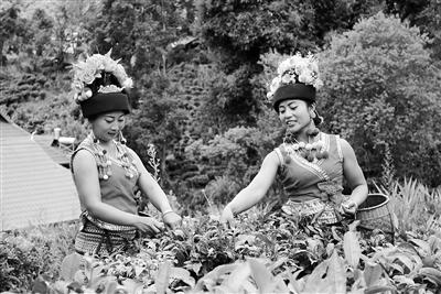 勐海縣布朗山鄉茶農採茶忙