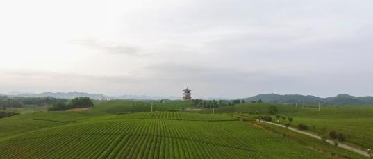貴州湄潭縣萬畝茶海